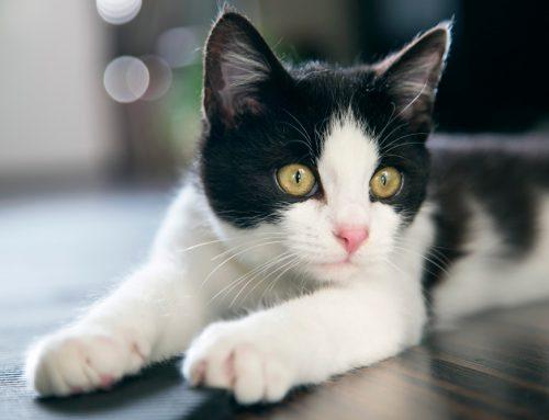 Cepillar a tu gato: ¿Cómo, cuándo y por qué?