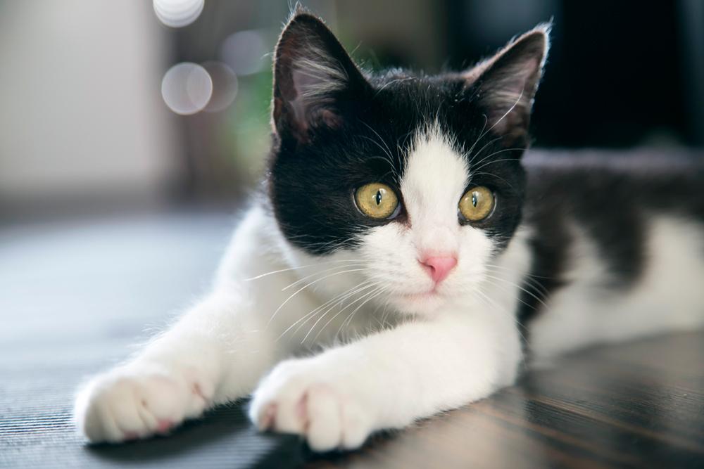 Cepillar a tu gato: ¿cómo, cuándo y por qué? | blackiecat.com